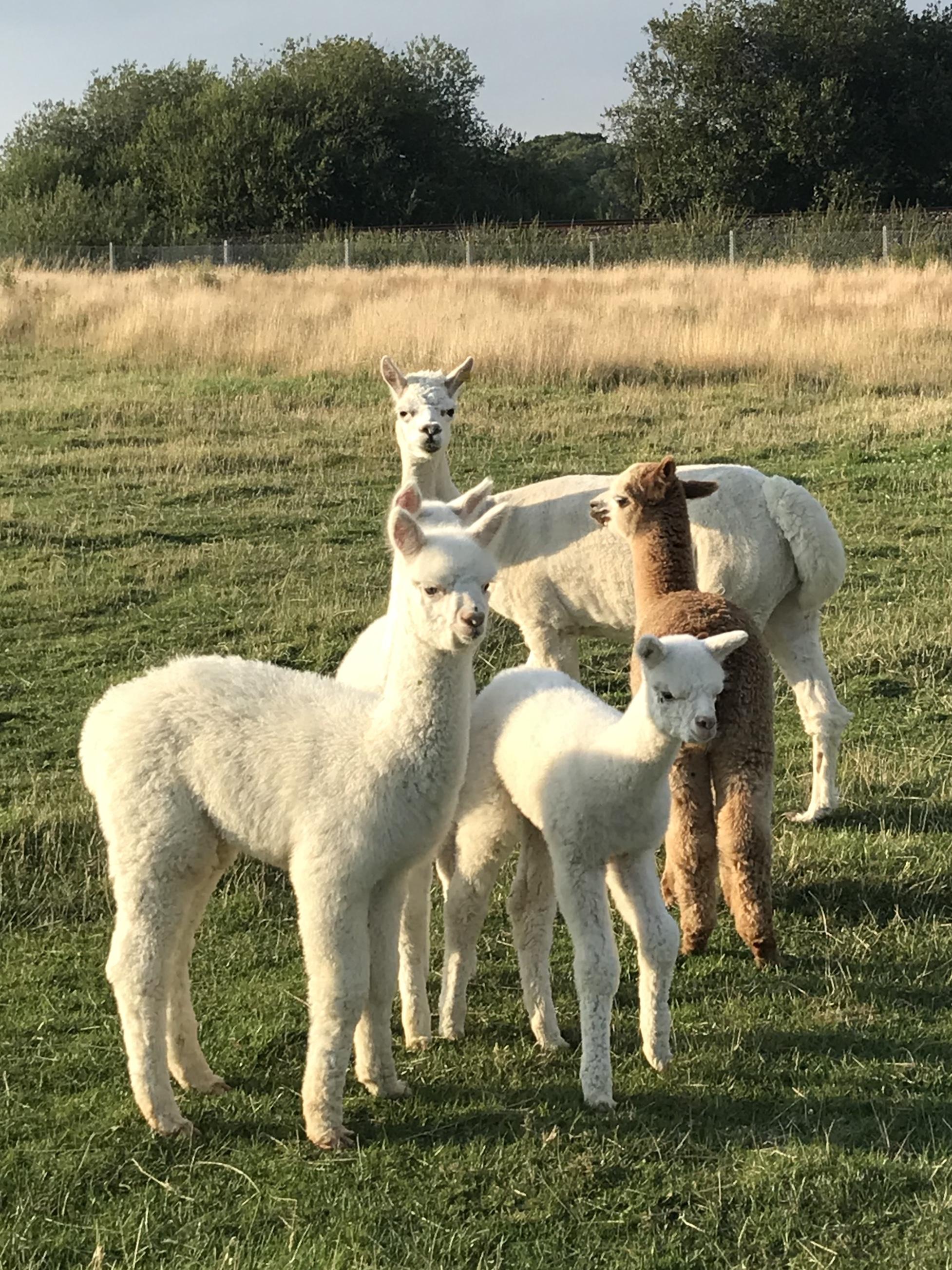 Have you tried Alpaca Yoga?